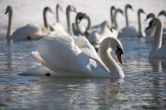 Swan 5 Fotografering för Bildbyråer