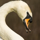 Swan. White swan looking suspicious at the camera Stock Images