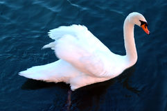 Swan. Adult swan on the water in the Colorado River near Austin Texas stock image