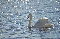 Swan. Royalty Free Stock Image