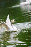 Swan. The  swan in the zoo of china Royalty Free Stock Photography