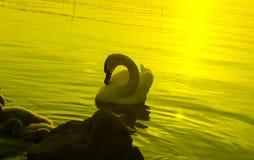 Swan. Evening at the balaton lake Stock Images
