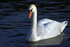 Swan. White swan in the pond Royalty Free Stock Photo