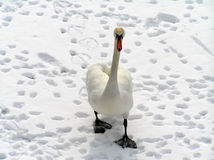 Swan. On the snow Royalty Free Stock Photography