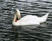 swan 6 royaltyfria bilder