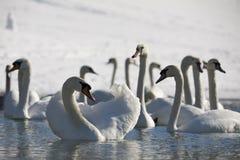 Swan 6 Royaltyfria Foton