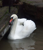 Swan. By Stratford lock Stock Image