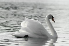 Swan. Lonely swan on the lake Stock Photo