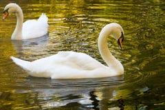 swan 2 Fotografia Royalty Free
