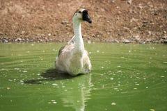 Swan Royaltyfri Foto