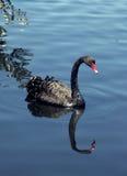 Swan. Graceful Swan royalty free stock photos