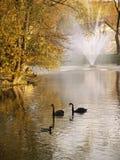 swan Royaltyfria Bilder