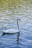 Swan. A swan swims in a lake stock photography