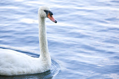 Swan. A white swan swims in water stock photo