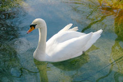 Swan. In a small pond Royalty Free Stock Photos