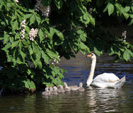 Swan and 7 cygnets Stock Photo