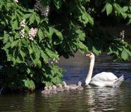 Swan and 7 cygnets Stock Photo