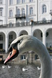 Swan. White swan swimming in front of an historic building Stock Photos