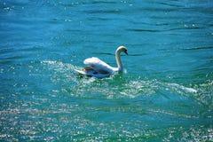 swan 免版税库存照片