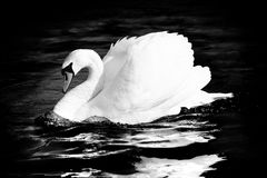 Swan. Graceful swan, grayscale Royalty Free Stock Photos