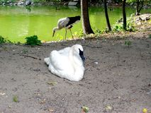 A swan. Waterfowl birds rest of the lake in the park Stock Photos