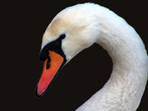 Swan. Swan on a homogeneous background stock photo
