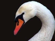Swan. Stock Photo