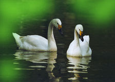 Swan. Two beautiful swans are in the lake noodles Royalty Free Stock Images