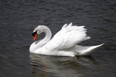 Swan. The ruling swan of the lake Stock Photo