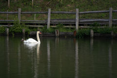 The swan. Swan in the pond Royalty Free Stock Photography