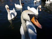 Swan Royaltyfri Bild