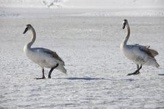 Swan 8 Royaltyfria Bilder