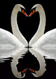 Swan. Two swans forming a heart and the reflection in water Royalty Free Stock Photography