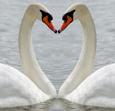 Swan. Two swans forming a heart with the background water Royalty Free Stock Photo
