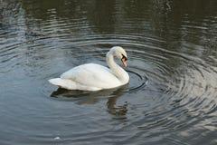 Swan 1 Fotografering för Bildbyråer