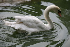 Swan. Gliding along on the water Stock Photo