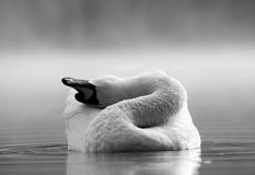Swan. Lake at the black and white photography Stock Photos