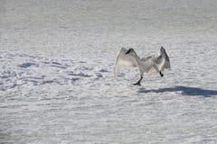 Swan 9 Royaltyfri Bild