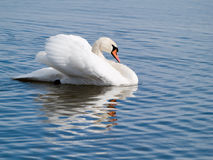 Swan. A swan against bright blue water Royalty Free Stock Photo