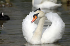 Swan at Abbotsbury Swannery Royalty Free Stock Image