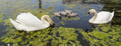 Swan adults and offspring in pond. Adult white swans with offspring floating in pond on sunny day Royalty Free Stock Images