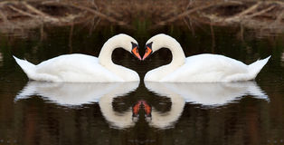 Swan affection. (abstract white heart Royalty Free Stock Photography