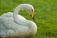 Swan against green background. Swan against a green background Royalty Free Stock Photos