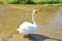 Swan in all growth ashore. White swan in all its growth standing ashore in sunny day royalty free stock image