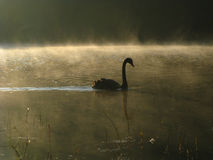 Swan alone. Swan in the river ,pai ,maehongson Royalty Free Stock Photo