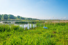 Swan along the shore of a lake in spring Stock Photography