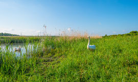 Swan along the shore of a lake in spring Royalty Free Stock Images