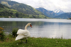 Swan in the Alps Stock Photo