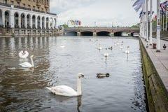 Swan in Alster river in Hamburg Stock Photography
