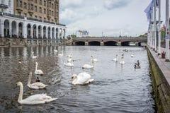 Swan in Alster river in Hamburg Royalty Free Stock Image